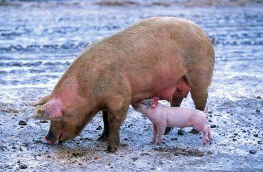 Более полумиллиарда рублей страховки получил владелец свиноферм в Приморье
