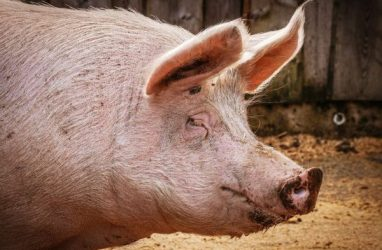 В Приморье уничтожат 22500 свиней