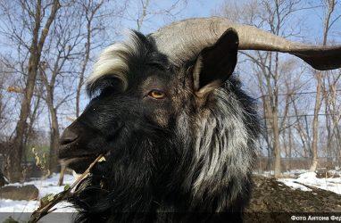 «Всем бы козлам так жить!»: знаменитый козёл Тимур обрёл персонального спонсора