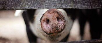 Свинья, пятачок, поросенок