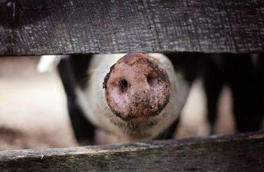 В Приморье продавали опасную свинину