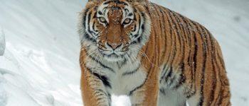 Тигр (фото - pixabay)