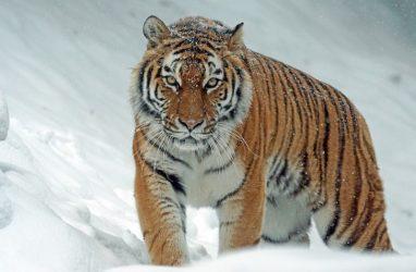 В Приморье ищут браконьеров, убивших тигра — охотнадзор