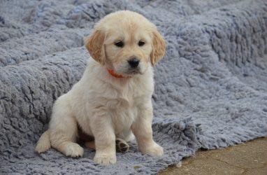 Девочке-аутисту из Приморья после письма Путину подарили щенка золотистого ретривера