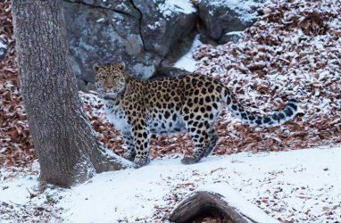 Туристам из Индии и Монако посчастливилось заснять дальневосточного леопарда в Приморье