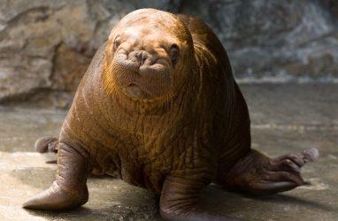 В приморской «китовой тюрьме» заявили, что содержат ещё и моржат