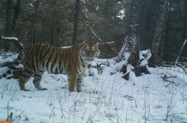 В Приморье сообщили о возможной смерти многодетной тигрицы Анны Савельевны