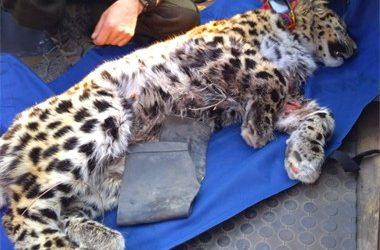 Состояние пострадавшего в Приморье леопарда пока не удалось улучшить