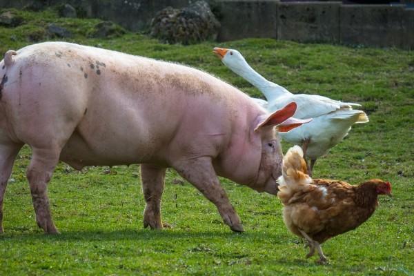 Свинья, курица, гусь, сельское хозяйство, животные, деревня, ферма