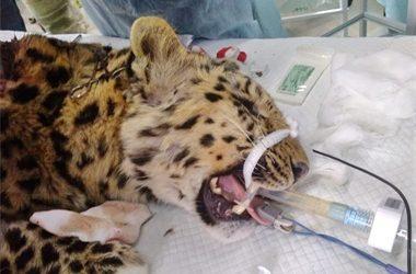 Раненый леопард идёт на поправку — специалисты