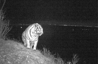 Диких тигра и леопарда впервые сфотографировали в черте Владивостока