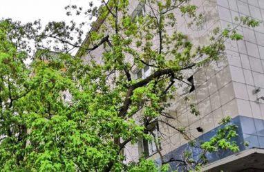 Огромное дерево рухнуло на здание налоговой во Владивостоке — фото