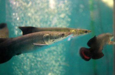 Древние хищные рыбы, живущие более 50 лет, поселились в Приморском океанариуме