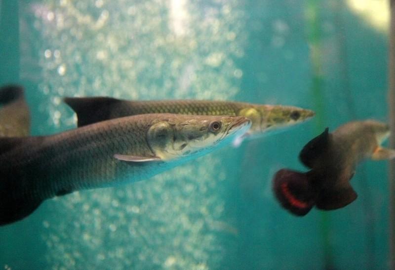 Рыба Арапаима. Фото: пресс-служба Приморского океанариума