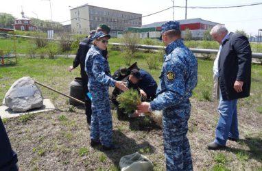 Кедры высадили на территории двух исправительных учреждений Приморья