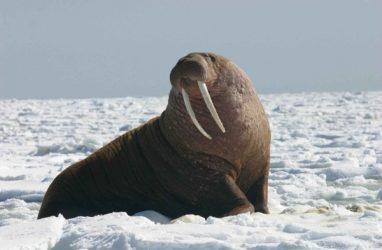 Китаец пытался вывезти в автобусе из Приморья десятки килограмм бивней моржа