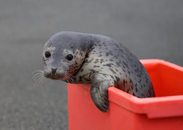 Детеныш ларги. Фото - пресс-служба Приморского океанариума