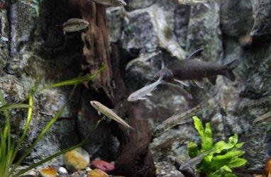 Самые маленькие хищные рыбы России поселились в Приморском океанариуме — фото