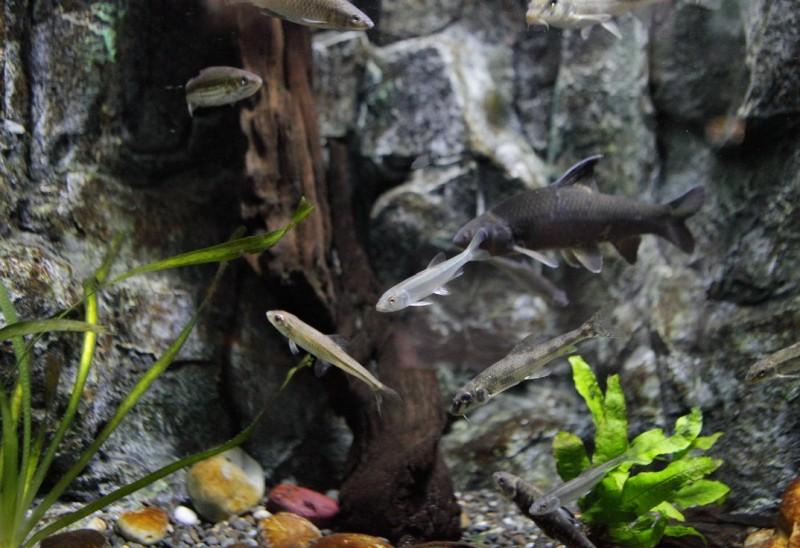 Рыба троегуб. Фото - пресс-служба Приморского океанариума