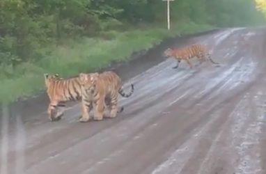 Сразу несколько тигров на дороге шокировали приморцев — видео