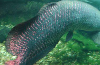 Огромную ремень-рыбу поймали в Приморье