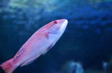 Рыбы-попугаи поселились в Приморском океанариуме