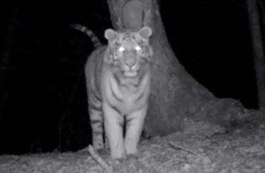 Тигр в Приморье пожалел фотоловушку