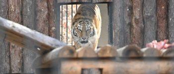 Тигрица Тайга