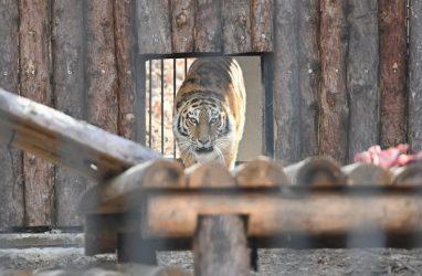 Хабаровский край вернул тигрицу Тайгу, сестру Амура, в Приморский сафари-парк