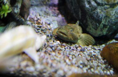 Нарезкой красной рыбы кормят новых обитателей Приморского океанариума