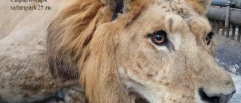 Лигр, тигр, лев, фото - скрин с видео Приморского сафари парка