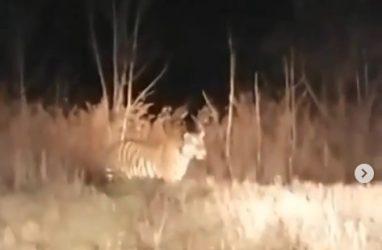 Тигр на автозаправке шокировал приморцев