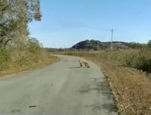 Встречу автомобилиста с семьёй леопардов в Приморье прокомментировали специалисты