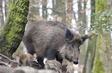Вирус африканской чумы свиней выявили ещё в одном районе Приморья