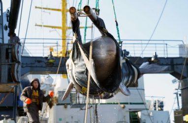 Учёные рассказали о том, где находятся выпущенные узники «китовой тюрьмы»