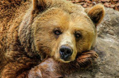 После нападения медведя приморца увезли в реанимацию