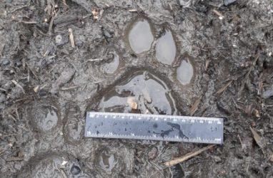 Молодой тигр пугает жителей приморского посёлка. Им займутся специалисты