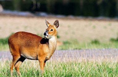 Жителей Приморья призвали не охотиться на странного оленя с клыками