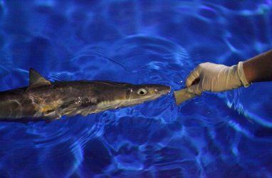 В Приморском океанариуме приручили всех акул, даже колючих
