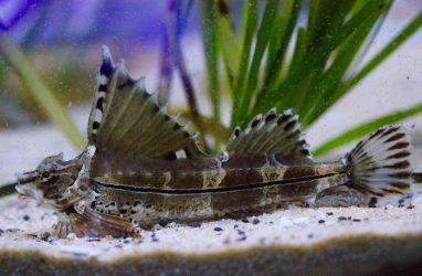 Рыбка с иллюстраций легенд о драконах поселилась в Приморском океанариуме
