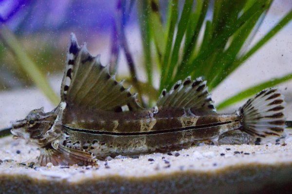 Рыба агономала Джордена, Приморский океанариум