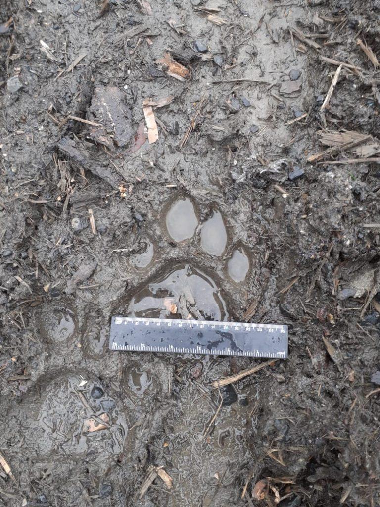 След тигра, тигр. Фото - пресс-служба центра Амурский Тигр