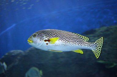 Морские ворчуны с большими губами поселились в Приморском океанариуме