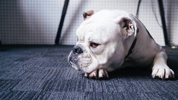 Собака, пес, бульдог, животное, домашнее