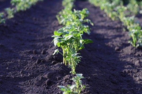 Огород, земля, грядка, картофель, сельское хозяйство, овощи