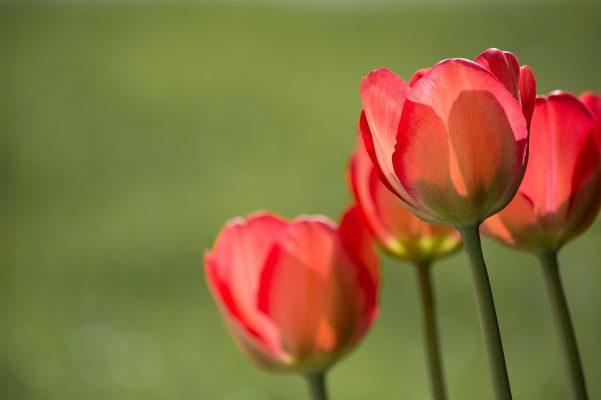 Тюльпан, цветы