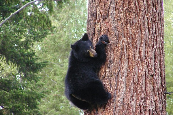 Медведь, медвежонок. Фото - pixabay