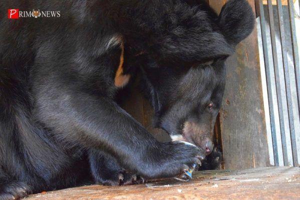 Медведь, зоопарк Садгород. Фото - Prim.News