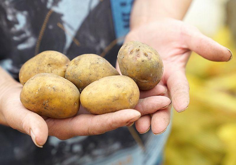 Картофель, фермерство