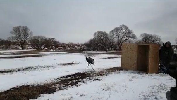 В Приморье после реабилитации выпустили на волю редкого журавля. Фото - скриншот с видео wwf